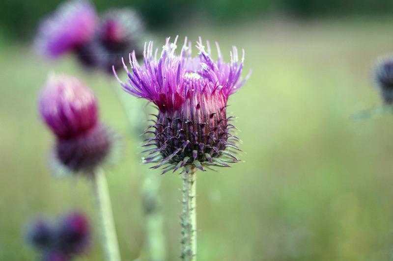 Kukka, makro